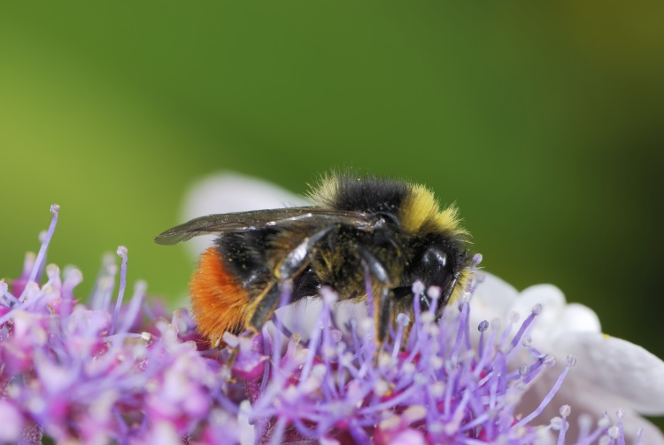 Bumble bee on a flower