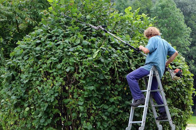 Man on ladder using hedge trimmer