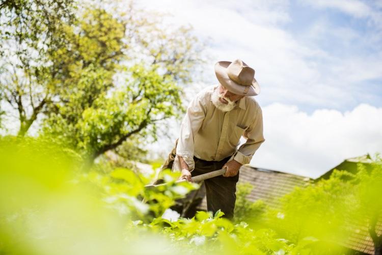 Old farmer cutting back weeds in garden
