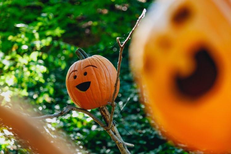 Pumpkin gardening