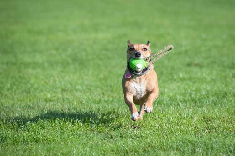 Dog playing fetch in garden