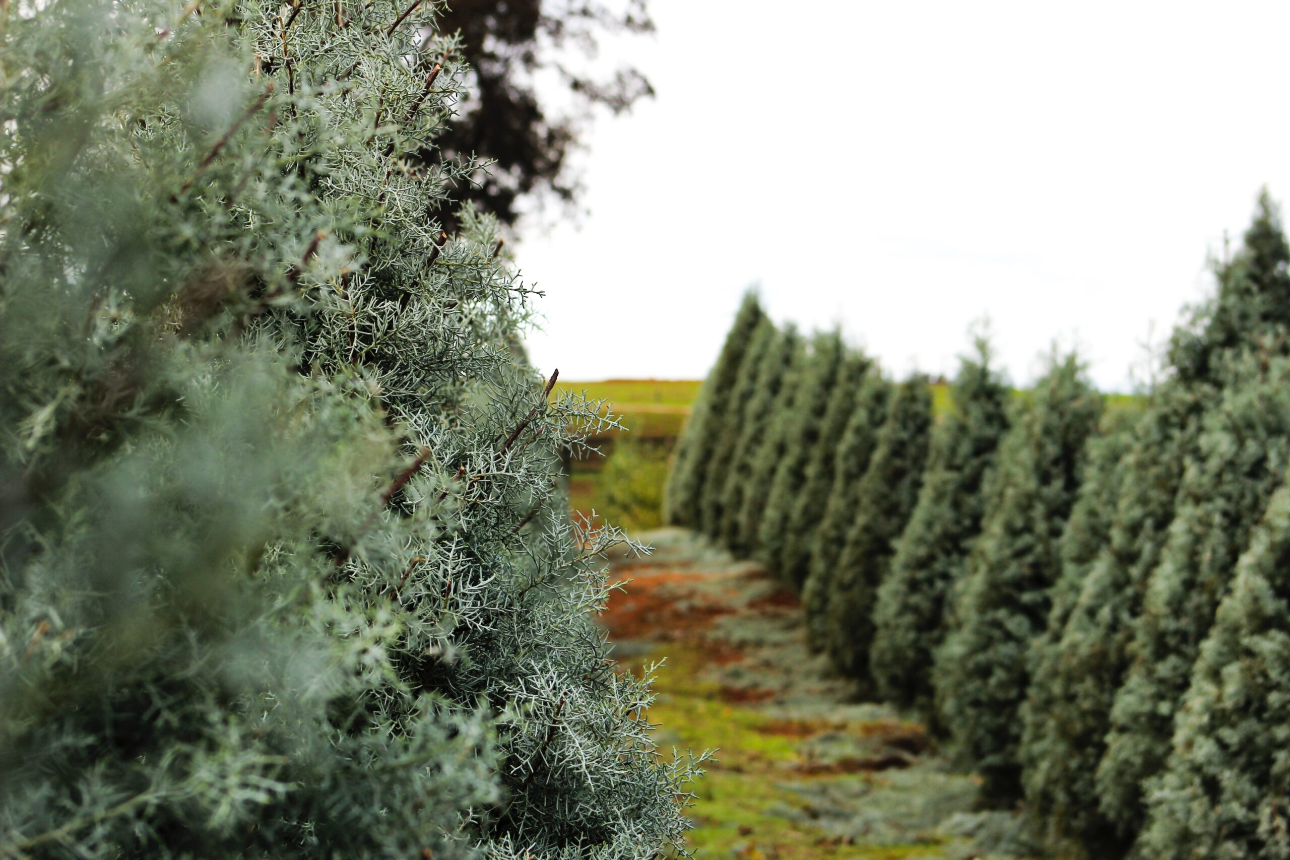 Container-grown vs. Potted christmas trees