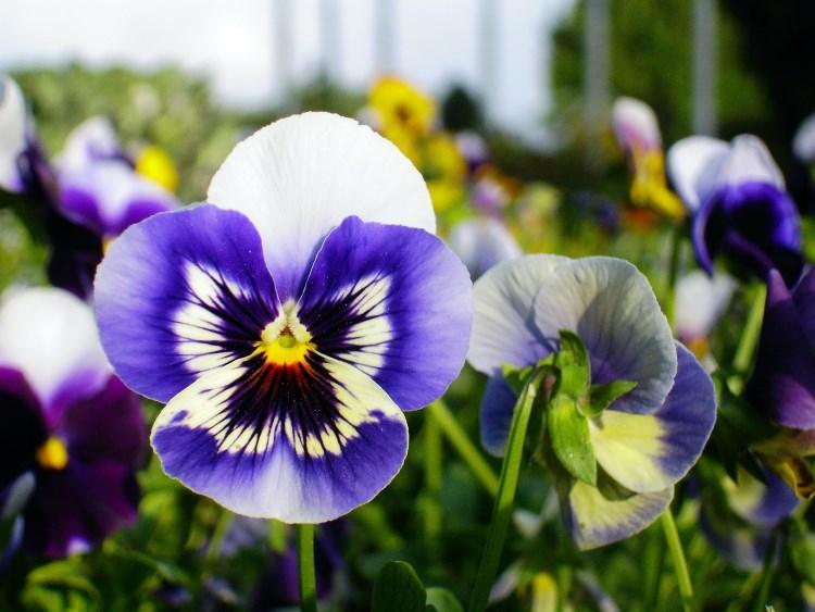 Pansies flowering in garden