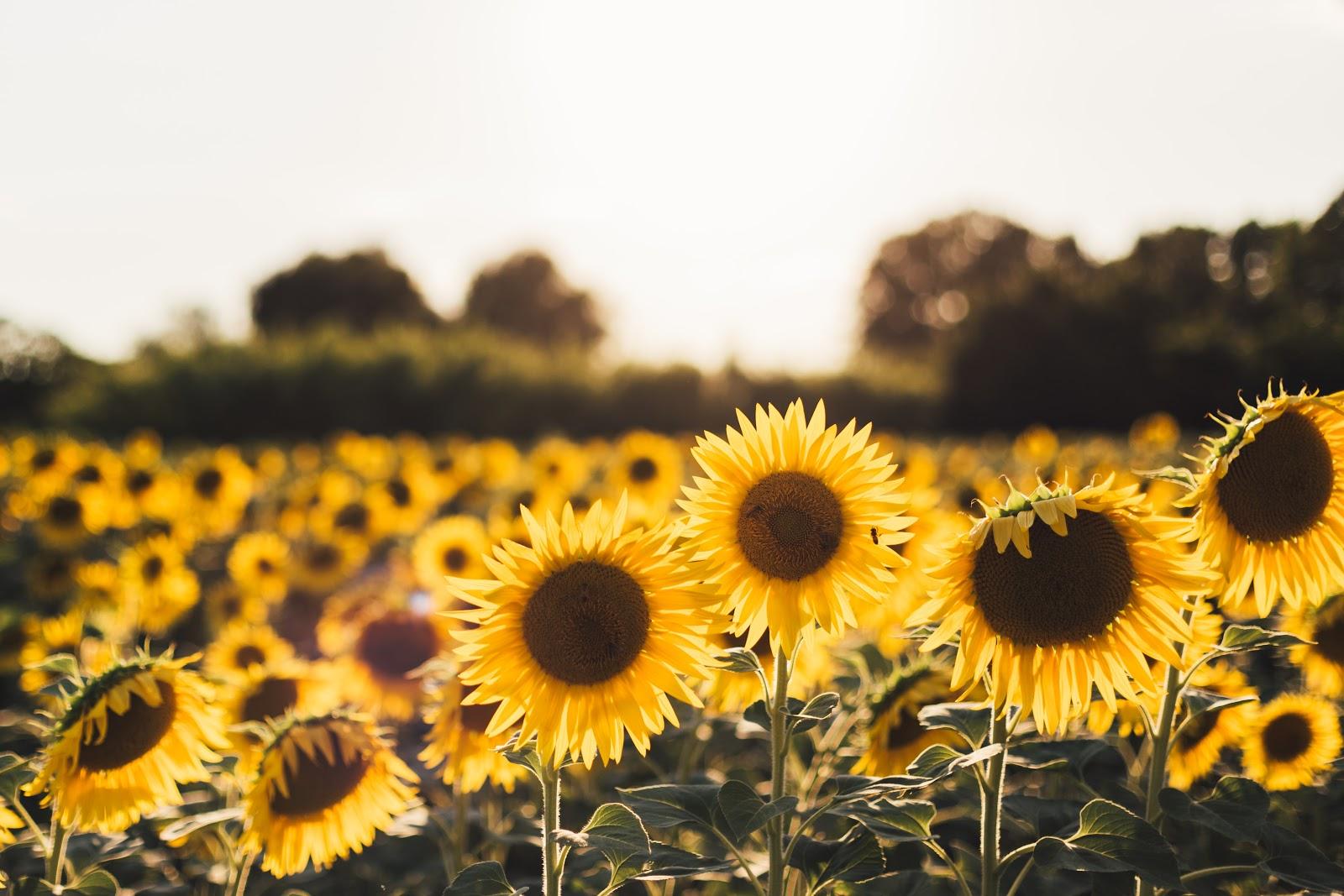 Sunflower Plants in Bloom