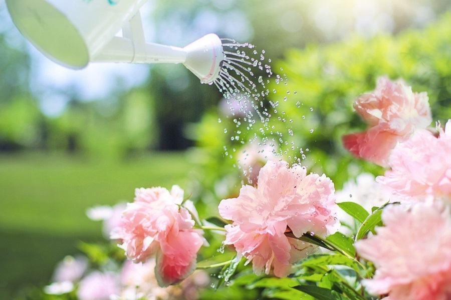 Watering plants with watering can